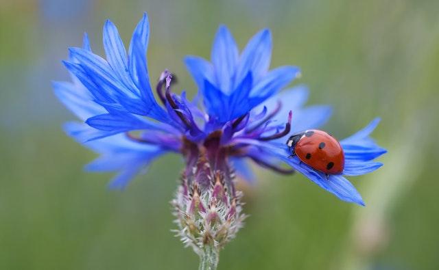 cornflower-ladybug-siebenpunkt-blue-70335-2
